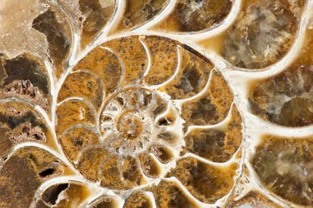 Ammonite is a prehistoric shell animal whoose spiral shell was fossilized into a solid mineral and is now a object of collecting Stock Photo - 9055419