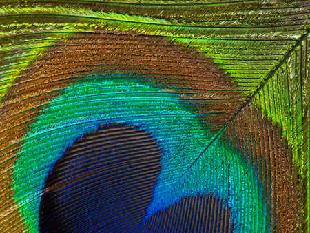 Detailed photo of a beautiful vivid peacock feather photo