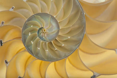 logarithmic: Detailed photo of a halved backlit  shell of a chambered nautilus (Nautilus pompilius)