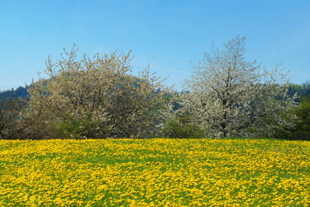 Beautiful spring landscape with blooming yellow dandelions and cherry tree Stock Photo - 9117264
