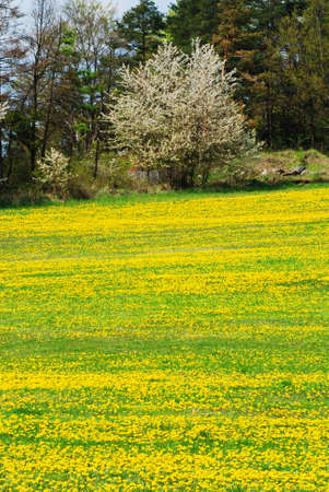 Beautiful spring landscape with blooming yellow dandelions and cherry tree Stock Photo - 9117279