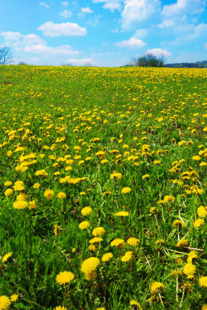 Beautiful spring landscape with blooming yellow dandelions  photo