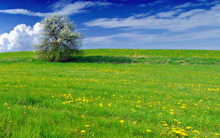 Beautiful spring landscape with tree in bloom and meadow full of dandelions Stock Photo
