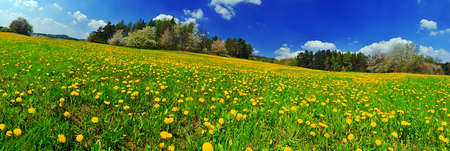 Beautiful spring panoramatic shot with a dandelion meadow Stock Photo - 9117284