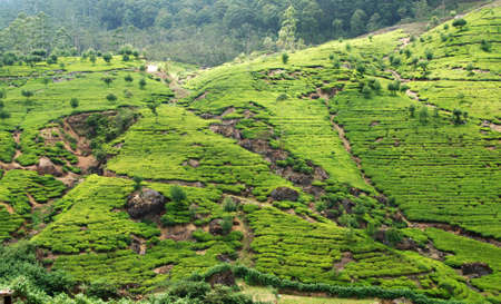 Green tea plantation of Sri Lanka in the Mountains near Nuwara Elyia photo