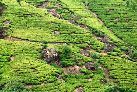 Green tea plantation of Sri Lanka in the Mountains near Nuwara Elyia photo