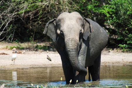 Wild elephant (lephus maximus vilaliya) having a bath.  photo