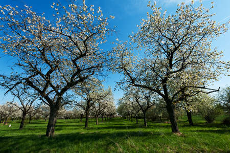 many branches: Apple Orchard in the middle of the spring season.