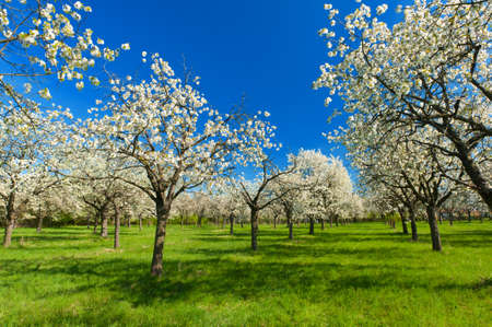 blossoming: Apple Orchard in the middle of the spring season.