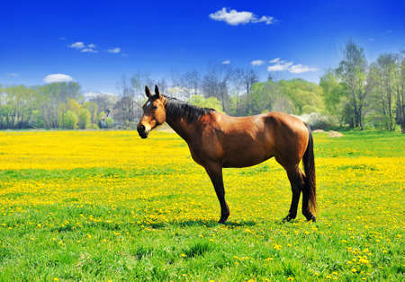 Beautiful brown horse standing in the meadow full of dandelions Stock Photo - 10010104