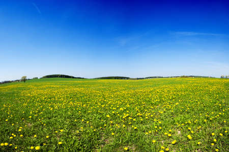 Beautiful spring panoramatic shot with a dandelion meadow 版權商用圖片