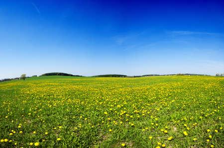 Beautiful spring panoramatic shot with a dandelion meadow Foto de archivo