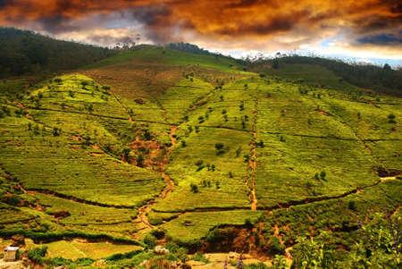 Beautiful sunset over the Green tea plantation of Sri Lanka in the Mountains near Nuwara Elyia photo