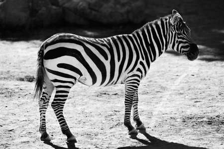 burchell: Beautiful striped zebra standing in the plains. Black and white.  Stock Photo