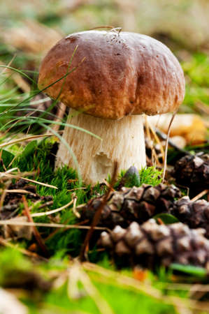 mycology: Beautiful fresh pine bolete (Boletus pinophilus) growing in the forest moss Stock Photo