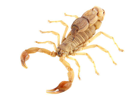 Poisonous scorpion androctonus australis isolated on white background