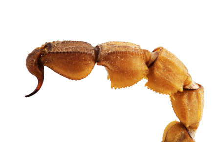 stinger: Very detailed macro photo of a scorpion sting isolated on white