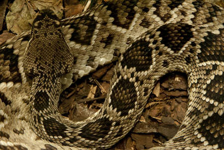 slither: Detailed background of a large python snake sleeping