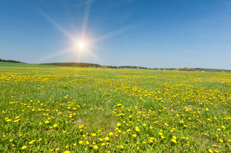 Beautiful spring panoramatic shot with a dandelion meadow Stock Photo