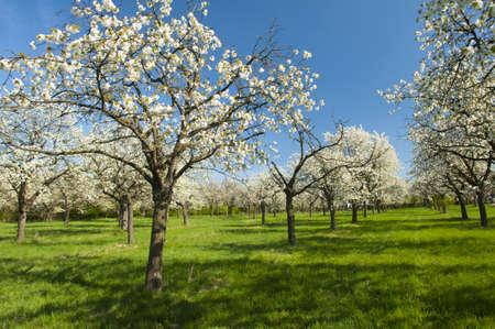 bosquet: Apple Orchard en el medio de la temporada de primavera. Foto de archivo