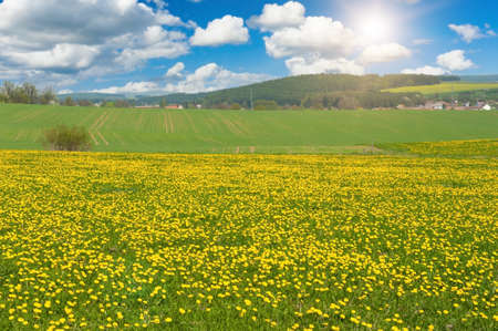 meadow: Beautiful spring panoramatic shot with a dandelion meadow Stock Photo