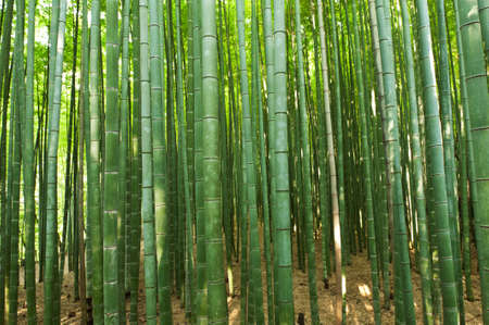 Beautiful bamboo forest in near Arashiyama, Japan
