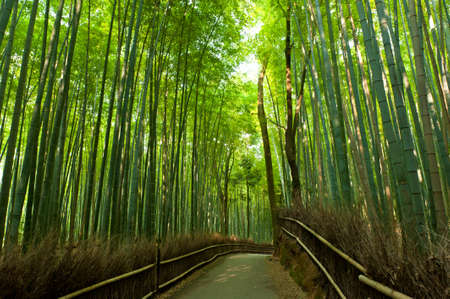 asian trees: Famous bamboo grove at Arashiyama, Kyoto - Japan Stock Photo