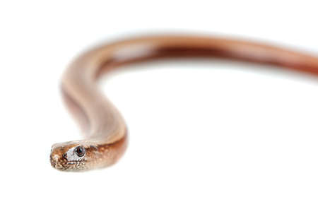 Young slowworm (Anguis fragilis) isolated on white background Stock Photo - 11424772