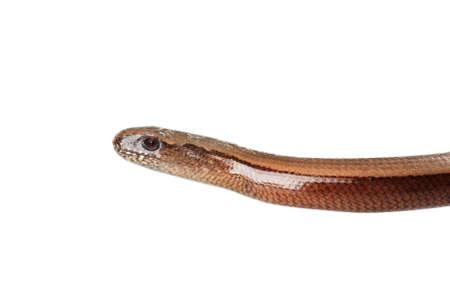 Young slowworm (Anguis fragilis) isolated on white background Stock Photo - 11424774