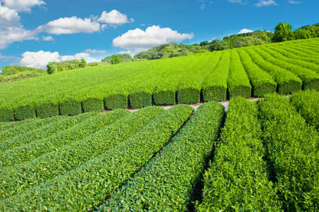 Shizuoka Tea