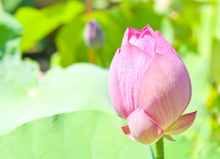 Lotus (Nelumbo nucifera) flower isolated with shallow DOF in the Japanese pond photo