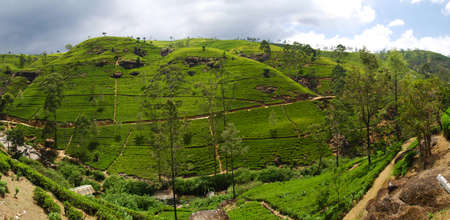 Green tea plantation of Sri Lanka in the Mountains near Nuwara Elyia. Panoramic composition photo
