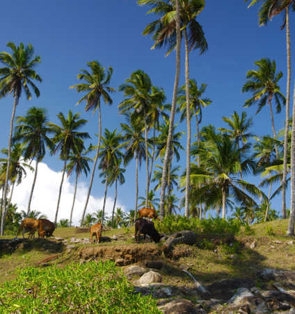 Cows are hiding and feeding under the shadow of the coconut palms, Sri Lanka Stock Photo - 12000490