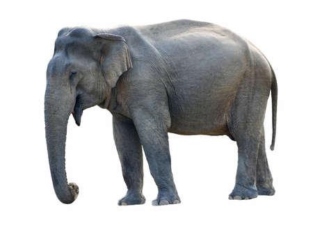 elephant head:  Wild female elephant (elephas maximus vilaliya) isolated on white.