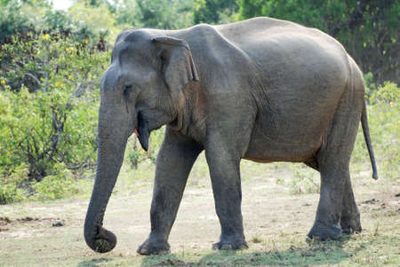 Wild female elephant (lephus maximus vilaliya). Safari in a National Park Yala, Sri Lanka