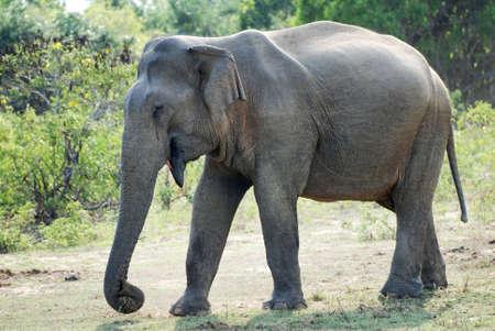 elefantes: Elefante salvaje femenino (lephus Maximus vilaliya). Safari en el Parque Nacional Yala, en Sri Lanka