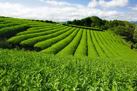 sencha tea: Beautiful fresh green tea plantation at Nihondaira, Shizuoka - Japan