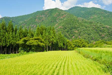 ogimachi: Field of grown rice near Shirakawa-go village