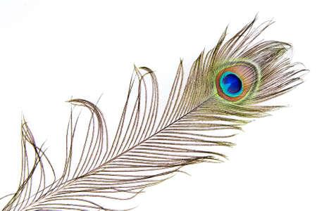 pavo real: Foto de detalle de una hermosa pluma de pavo real viva aislado en blanco