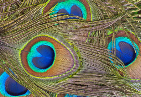 Detailed photo of a bunch of beautiful vivid peacock feathers  photo
