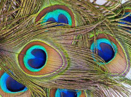 Detailed photo of a bunch of beautiful vivid peacock feathers Stock Photo - 12868820