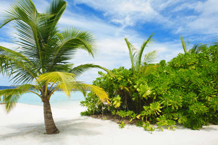 coconut trees: Beautiful tropical paradise in Maldives with palm, white beach and turquoise sea