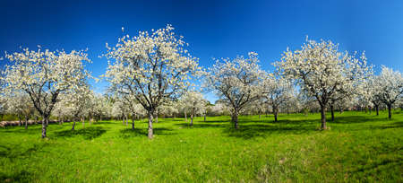 Apple Orchard en el medio de la temporada de primavera. Foto panorámica.