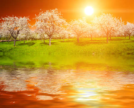 tree disc: Apple Orchard in the middle of the spring season at sunset is reflecting in the water