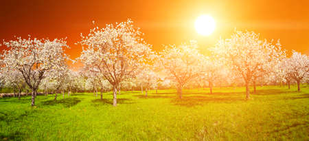 Apple Orchard in the middle of the spring season at sunset. Panoramic photo.  photo