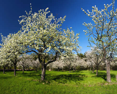 Apple Orchard in the middle of the spring season. Panoramic photo. Stock Photo - 13907525