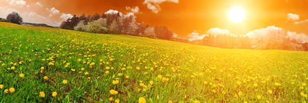 panoramatic: Beautiful spring panoramatic shot with sunset over the dandelion meadow  Stock Photo