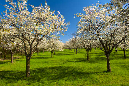 Apple Orchard in the middle of the spring season. Panoramic photo. Stock Photo - 13907520