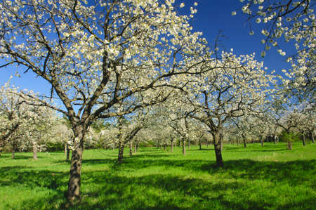 Apple Orchard in the middle of the spring season. Panoramic photo.  Stock Photo - 13907521