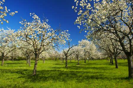 Apple Orchard in het midden van de lente. Panoramische foto. Stockfoto